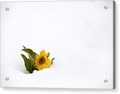 Balsamroot In Snow Acrylic Print by Hal Horwitz and Photo Researchers
