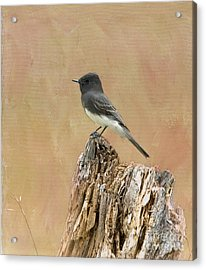 Black Phoebe Acrylic Print by Betty LaRue