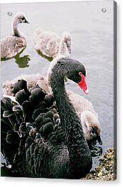 Black Swan Acrylic Print by William Walker