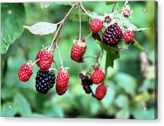 Blackberries Acrylic Print by Kristin Elmquist