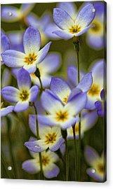 Blue Quaker Ladies Acrylic Print by Thomas J Martin