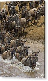 Blue Wildebeest Connochaetes Taurinus Acrylic Print by Suzi Eszterhas