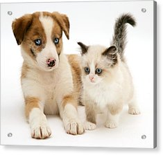 Border Collie And Birman-cross Kitten Acrylic Print by Jane Burton