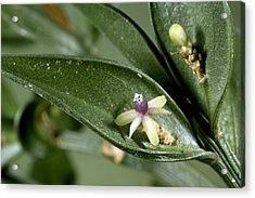 Butcher's Broom (ruscus Aculeatus) Acrylic Print by Bob Gibbons