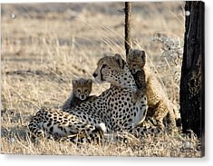 Cheetah Mother And Cubs Acrylic Print by Gregory G. Dimijian, M.D.