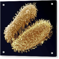 Ciliate Protozoa, Sem Acrylic Print by Steve Gschmeissner