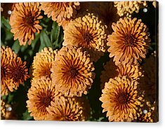 Close-up View Of Orange Mums In Bloom Acrylic Print by Todd Gipstein