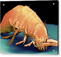 Coloured Sem Of A Silverfish (order Thysanura) Acrylic Print by Volker Steger