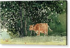 Cow In Pasture Acrylic Print by Winslow Homer