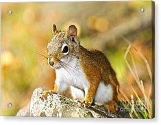 Cute Red Squirrel Closeup Acrylic Print by Elena Elisseeva
