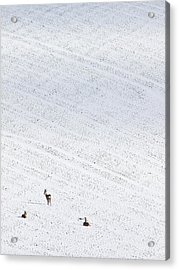 Deer In A Distant Snow Covered Field Acrylic Print by Adrian Bicker