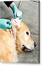 Dog Grooming Acrylic Print by Photo Researchers, Inc.