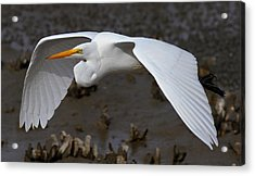 Egret Flight Acrylic Print by Phil Lanoue