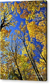 Fall Maple Trees Acrylic Print by Elena Elisseeva
