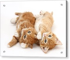 Ginger Kittens Acrylic Print by Mark Taylor