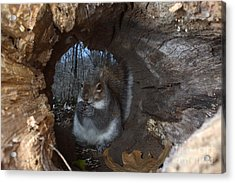 Gray Squirrel Acrylic Print by Ted Kinsman