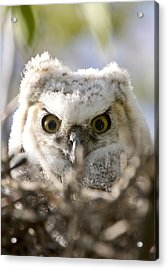 Great Horned Owl Babies Owlets In Nest Acrylic Print by Mark Duffy