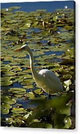 Great White Egret Perched On A Rock Acrylic Print by Todd Gipstein