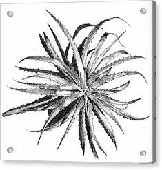 Hechtia Argentea Acrylic Print by Penrith Goff