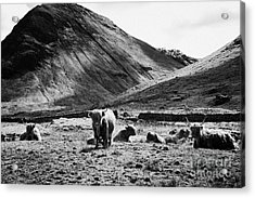Herd Of Red Highland Cattle Glencoe Highlands Scotland Uk Acrylic Print by Joe Fox