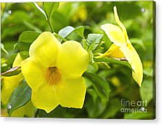 Hibiscus Acrylic Print by Blink Images