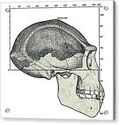 Homo Erectus Skull Acrylic Print by Sheila Terry