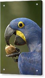 Hyacinth Macaw Anodorhynchus Acrylic Print by Pete Oxford