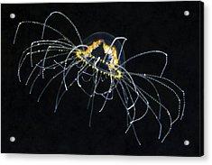 Hydrozoan Medusa Acrylic Print by Alexander Semenov