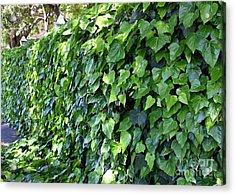 Ivy Wall Acrylic Print by Carol Groenen