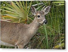 Key Deer Florida Acrylic Print by Valia Bradshaw