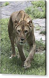 Lioness Acrylic Print by Yosi Cupano