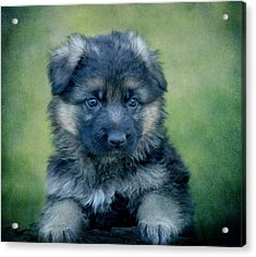 Long Coated Puppy Acrylic Print by Sandy Keeton