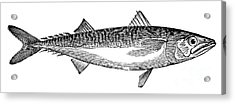 Mackerel Acrylic Print by Granger