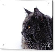 Maine Coon Cat Acrylic Print by Waldek Dabrowski