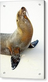 Male Galapagos Sea Lion Standing On Beach Acrylic Print by Sami Sarkis