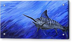 Marlin Acrylic Print by Jenn Cunningham
