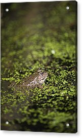 Marsh Frog Acrylic Print by Louise Murray