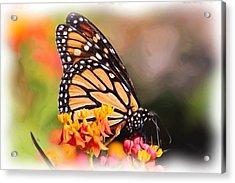 Monarch And Milkweed Acrylic Print by Heidi Smith