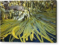 New Zealand Fur Seal Arctocephalus Acrylic Print by Tui De Roy