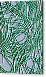 Oscillatoria Cyanobacteria, Dic Image Acrylic Print by Sinclair Stammers