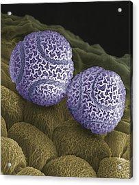 Passion Flower Pollen, Sem Acrylic Print by Steve Gschmeissner