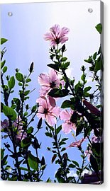 Pink Hibiscus Acrylic Print by Kevin Smith