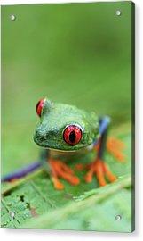 Red-eyed Tree Frog (agalychnis Callidryas) Acrylic Print by Peter Lilja