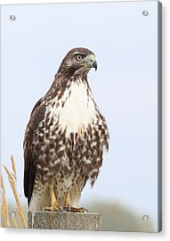 Red-tail Hawk  Acrylic Print by Angie Vogel