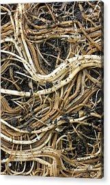 Roots Of A Pot-bound Buddleja Plant Acrylic Print by Dr Jeremy Burgess