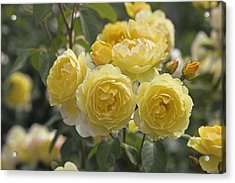 Rose (rosa 'charlotte Auspoly') Acrylic Print by Dr Keith Wheeler