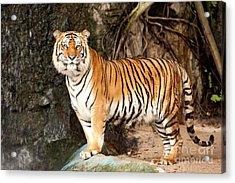 Royal Bengal Tiger Acrylic Print by Anek Suwannaphoom