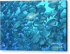 School Of Cortez Sea Chub Fishes Acrylic Print by Sami Sarkis