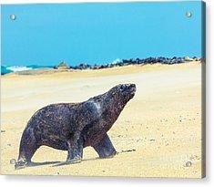 Sea Lion Acrylic Print by MotHaiBaPhoto Prints