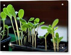Seeding Shoots Acrylic Print by Sami Sarkis